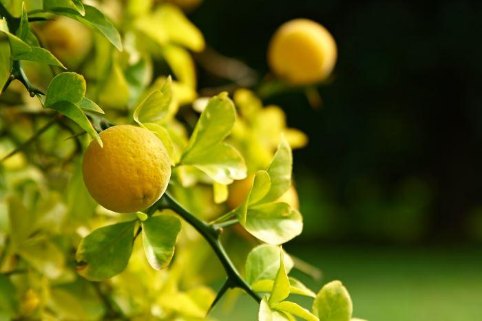 Citrontörne, Citrus trifoliata, en taggig skönhet, den härdigaste citrus-växten. Villa Oliva.