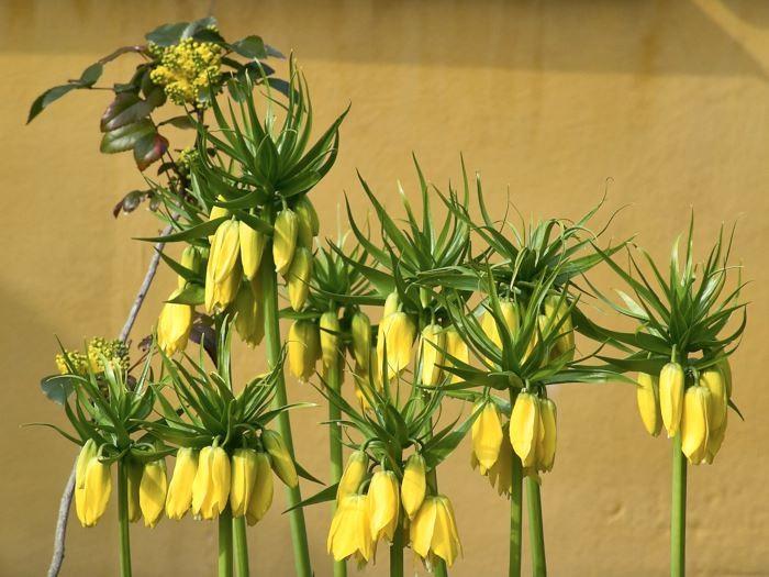 Kejsarkronan, Fritillaria imperialis, är en flerårig lökväxt med ståtligt uppseendeväckande form. Under rosetten med gröna högblad i stjälkens topp hänger de nedåtböjda klocklika blommorna. Hela växten har en säregen lukt som sägs vara avskräckande på sorkar. De stiliga blommorna i gult, orange eller rött slår ut i april–maj. Går att odla i nästan hela landet