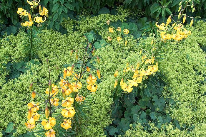 De eleganta gula liljorna med bakåtrullade kronblad har en helt annan form och storlek än de fluffiga skyarna av jättedaggkåpans små blommor inunder. En verkningsfull kombination ton i ton där formkontrasten är huvudattraktionen. Bild från Drömparken i Enköping.