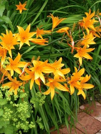 Hybriddaglilja, Hemerocallis hybrida-gruppen