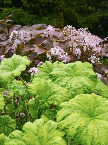Parasollbladet, Astilboides tabularis, och bronsrodgersia, Rodgersia podophylla, ger ett mycket frodigt intryck redan i slutet av maj. Trivs i fuktighetshållande jord i halvskugga–skugga.