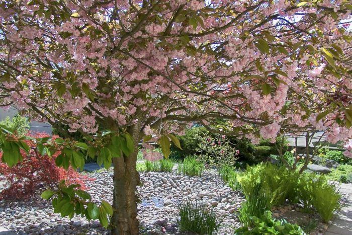 Träd är nödvändiga för att det ska skapas en lummig atmosfär i trädgården. Eftersom de tar tid på sig för att utvecklas och få storlek ska man plantera dem i ett tidigt skede när man gör i ordning tomten. Under det överdådigt blommande praktkörsbärsträdet Prunus Sato-Zakura-Gruppen, i Hågelbyparken strax söder om Stockholm, bildas stämningsskapande skiftningar mellan ljus och skugga.