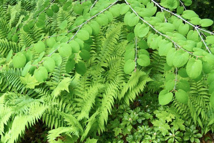 Katsurans, Cercidiphyllum japonicum, hjärtformade blad med fina nerver kontrasterar fint mot strutbräkenets, Matteuccia struthiopteris, starkt flikiga, nästan fjäderlika, blad. Längst fram syns skuggrönans blanka läderartade blad tillsammans med några självsådda små lönnplantor. Allt är grönt, men ändå så olika i form och textur.