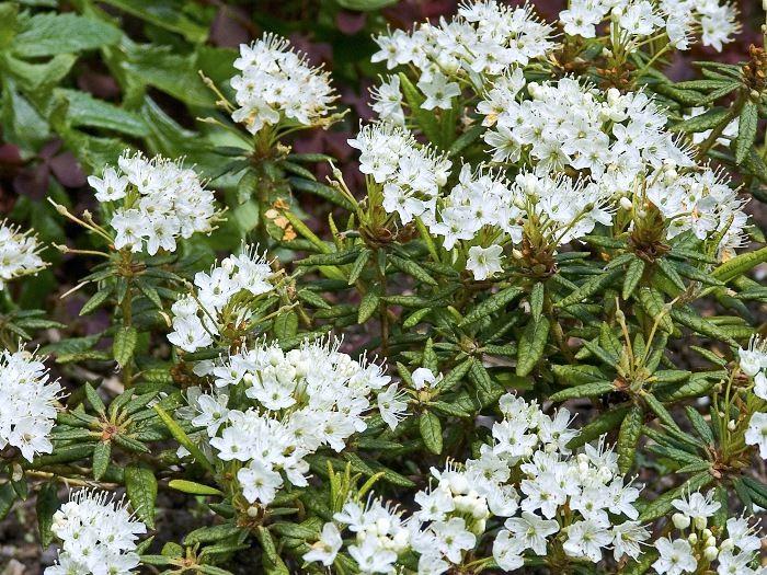 Bredbladig skvattram, Ledum groenlandicum