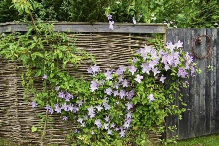 Ett plank av flätad torr pil skänker trädgården en lite gammaldags atmosfär och skapar snabbt en skyddad miljö. Klematisen som klänger över det mjukar upp och gör att trädgården känns lummigare. Bilden är från familjen Stavåsens trädgård i Halland.