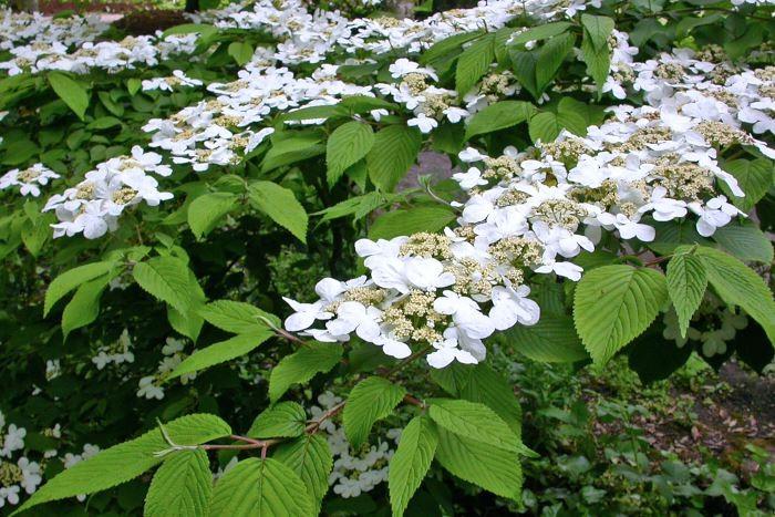 Japanskt olvon, Viburnum plicatum f. tomentosum 'Mariesii'