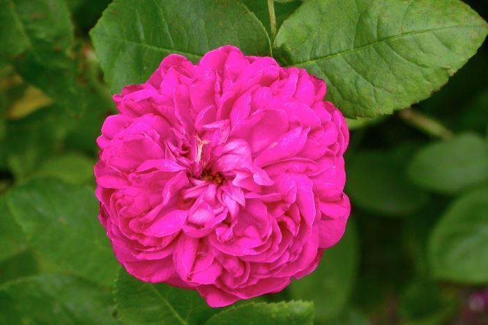 Höstdamascenerros, Rosa 'Rose de Rescht'