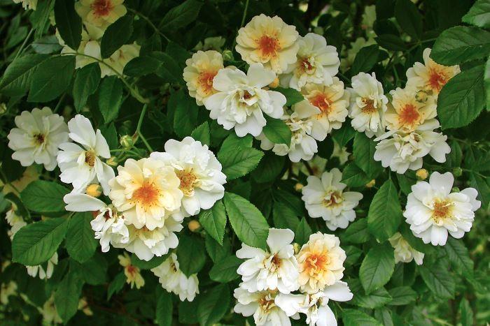Fylld honungsros, Rosa 'Hybrida'