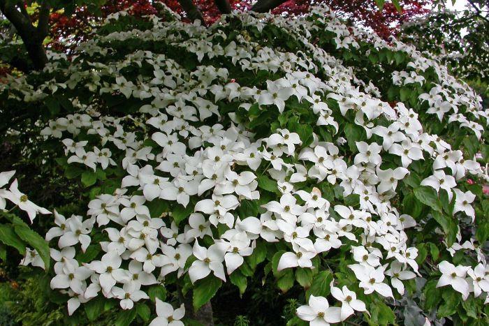 Kinesisk blomsterkornell, Cornus kousa var. chinensis