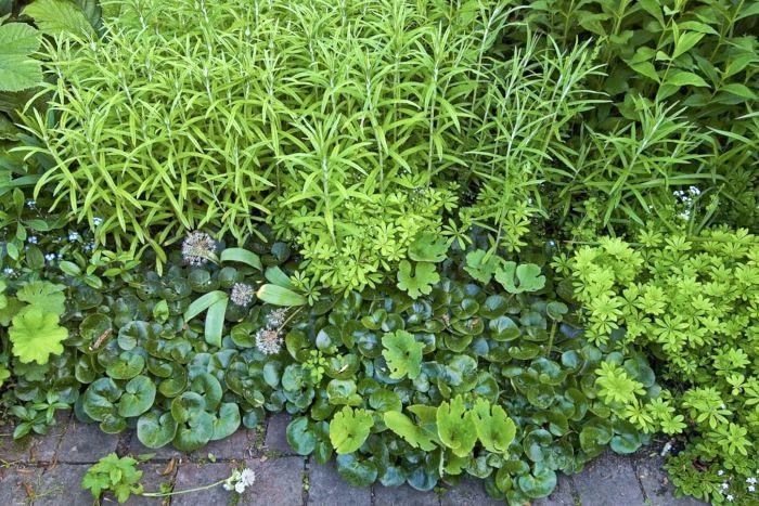 Med den täta blanka hasselörten, Asarum europaeum, som närmsta granne ser myskmadran, Galium odoratum, ännu mer sirligt ljusgrön ut än annars. Blad med helt olika yttextur framhäver varandras skönhet. Blankt mot matt, tunt mot läderartat tjockt och sirligt mot kompakt finns i den här vackra kombinationen som Barbro Sörman skapat i sin trädgård.