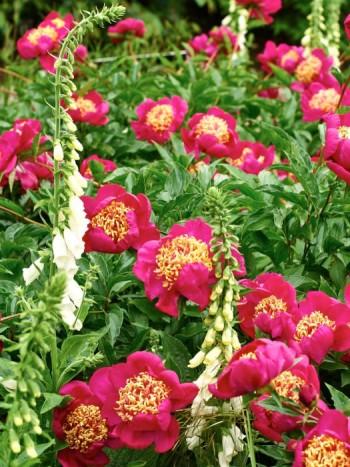 Att kombinera olika former fungerar lika bra för pioner som för andra perenner. Här skapas spänning mellan fingerborgsblommans vertikala spiror och pionens runda blommor, 'Her Majesty' heter sorten.