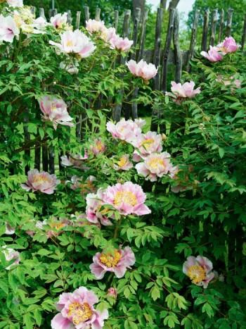 Får det lov att vara en buskpion som avslappnat lutar sig mot staketet? Svårt att komma på ett vackrare sätt att skaffa insynsskydd.