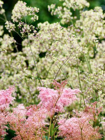 Ett högväxt par av blommande plymer bildar amerikanskt älggräs, Filipendula rubra 'Venusta', och trädgårdsruta, Thalictrum 'Elin'. Den förstnämnda med ursprung i USA medan den sistnämnda skönheten är en hybrid med svenskt ursprung.