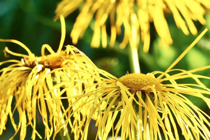 De solformade blommorna hos den mäktiga jättekrisslan, Inula magnifica, 'Sonnenstrahl' har elegant hängande, varmt gula kronblad. Den tar stort utrymme och är lämplig som avskärmning. Rotsystemet är inte invasivt. Är imponerande också på vintern.