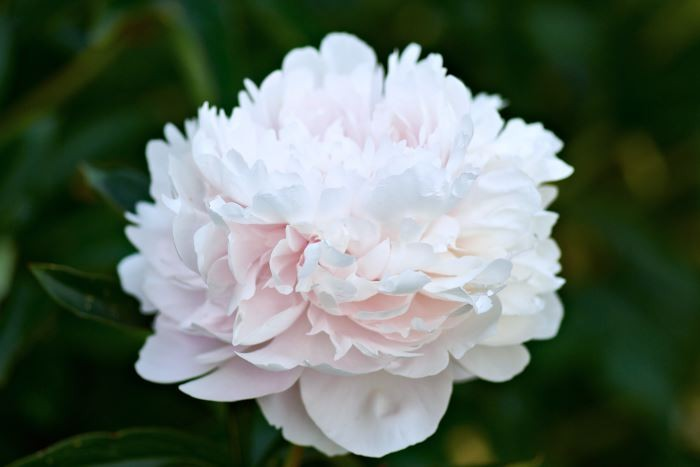 Den klassiska luktpionen 'Sarah Bernhardt' är en ljusrosa, fransk favorit från 1906. Hänger, har tyngre blommor än stjälkarna orkar bära. Passar till snitt.
