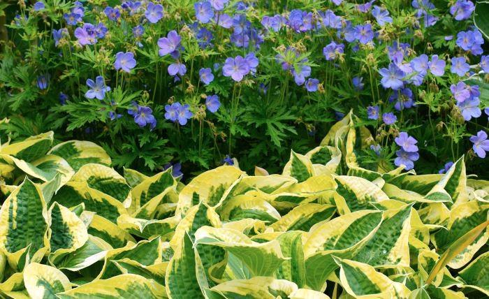 Funkior och nävor är som gjorda för varandra. Här 'Wide Brim', med breda, oregelbundna krämfärgade kanter på sina gröna blad, tillsammans med klassiska blånävan Geranium 'Johnson's Blue'. 'Wide Brim' blir ungefär 40 cm hög och får lavendelblå blommor i juli–augusti.