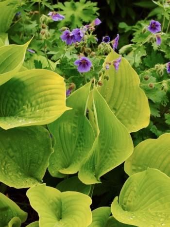 Funkian, Hosta 'Sum and Substance' med kaukasisk näva, Geranium magnificum