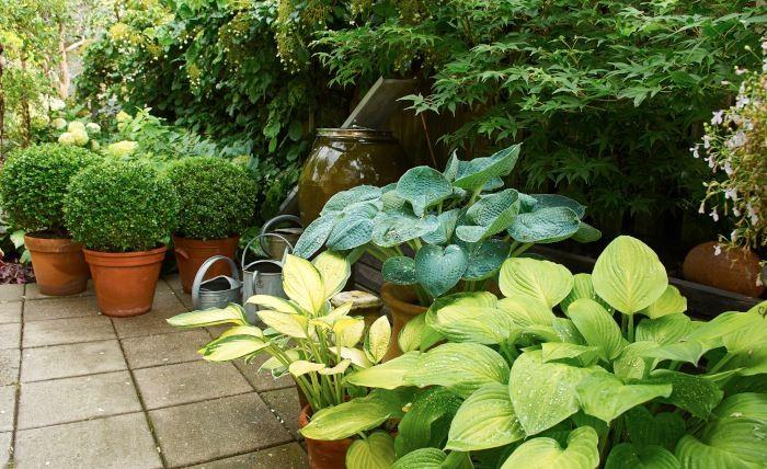 Funkior går bra att odla i krukor. Skapa gärna kompositioner med olika sorter som är olika i färg och form och placera med andra krukodlade växter, som formklippta buxbomsbollar.