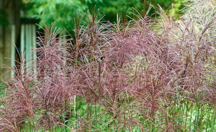 Den ståtliga glansmiskantusen, Miscanthus sinensis, är gräsens rättmätiga drottning. Sorten på bilden 'Malepartus' är den med de allra vackraste och tåligaste plymerna, silvriga på hösten, varmt bruna på vintern.