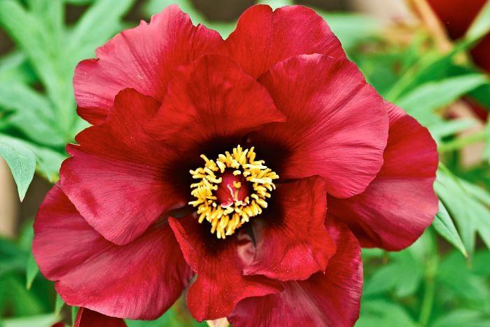 Mörkt röd är den amerikanska buskpionhybriden från 1948, 'Black Pirate'. Blommorna är så tunga att de ibland doppar huvudet.