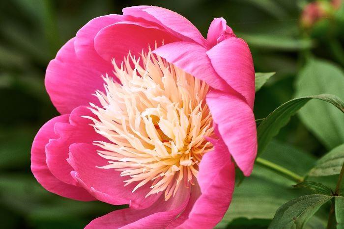Från mitten av förra seklet och Holland härstammar 'Bowl of Beauty'. Japansk, alternativt anemonblommande, benämns sorter med smala kronblad i centrum, staminoder, ofta i avvikande färg.
