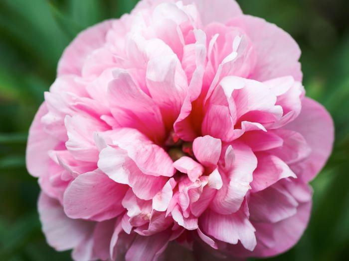 Bondpioner, Paeonia x festiva, finns det ganska få sorter av, 'Rosea Plena' tillhör de vanligaste. Härdig även längst upp i Norrlands inland. Blommar i början av juni, saknar doft.