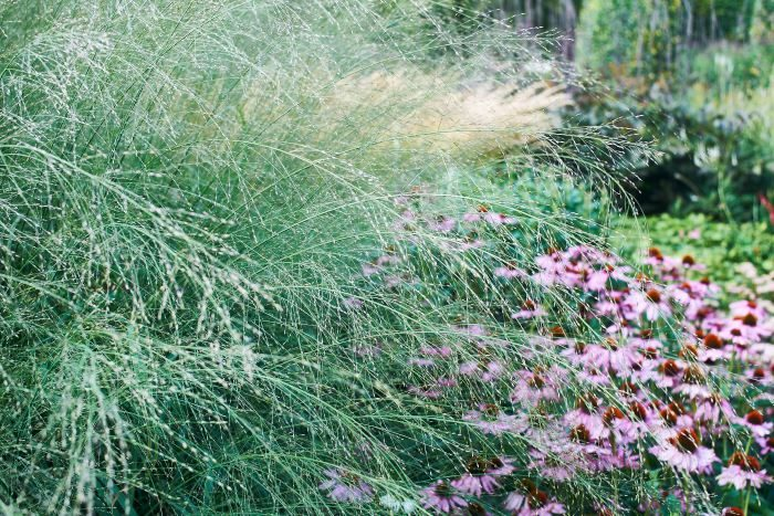Få växter har ett så passande sortnamn som jättetåtel, Molinia caerulea ssp. arundinacea 'Transparent'. Hänger som en transparent slöja i sirliga bågar över sin lägre granne, den röda solhatten 'Magnus'. Passar som färsk eller torkad till snitt.