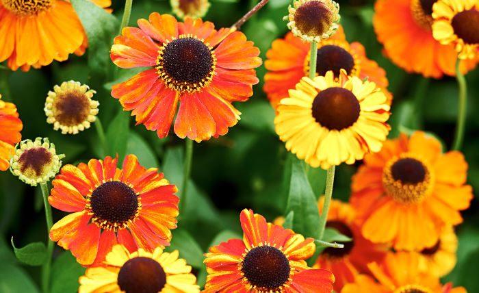 Den stabila trädgårdssolbruden, Helenium, förvånar med klara färger på de solformade blommorna, något annars mest förbehållet ettåringar. Den tidigblommande 'Sahin's Early Flowerer' börjar blomma redan i slutet av juli och passar speciellt bra norrut.