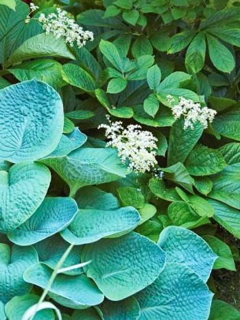 Funkian 'Big Daddy' har stora buckliga blådaggiga blad, blir ungefär 70 cm hög och blommor i juli–augusti. Här bredvid kastanjerodgersia Rodgersia aesculifolia som blommar i slutet av juni.