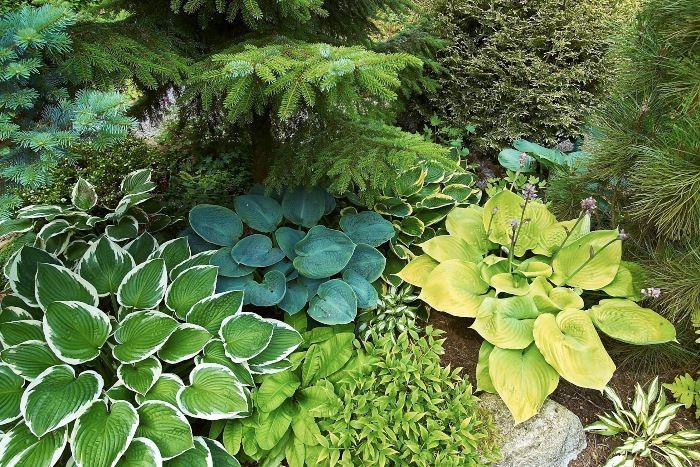 Blandade funkior passar bra tillsammans, olika sorter i varierade färger, former och storlekar. I kombination med barrväxter gör inte heller saken sämre. Finflikighet framhäver funkiornas skönhet. Och vad kan vara mer finflikigt än barr?
