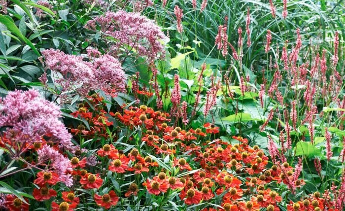 Ju mer vi är tillsammans ju frodigare det blir tycker den plymformade fläckflockeln, Eupatorium maculatum 'Atropurpureum', den solformade trädgårdssolbruden, Helenium 'Flammendes Käthchen', och den nätta spriran av blodormrot, Bistorta amplexicaulis 'Rosea'. Formerna kontrasterar, färgerna matchar.