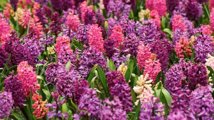 Hyacint, Hyacinthus orientalis