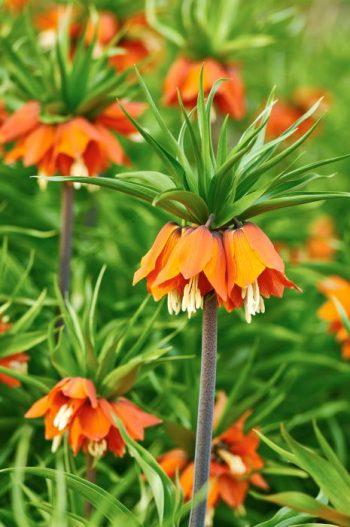 Kejsarkrona, Fritillaria imperialis