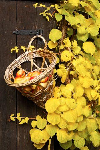 Laila Lindström – Några äpplen i en flätad korg på bodväggen kan räcka för att lysa upp i höstmörkret.