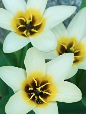 Näckrostulpan, Tulipa kaufmanniana