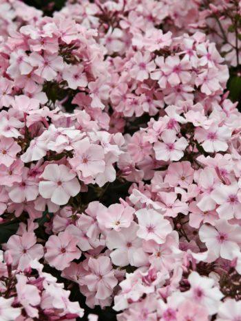 Höstflox, Phlox paniculata 'Rosa Pastell'