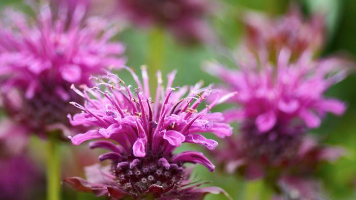 Temynt, Monarda 'Purple Ann