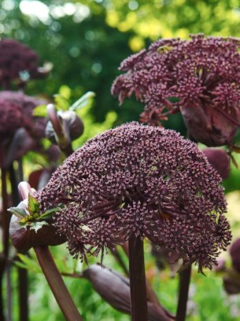 Purpurkvanne, Angelica gigas