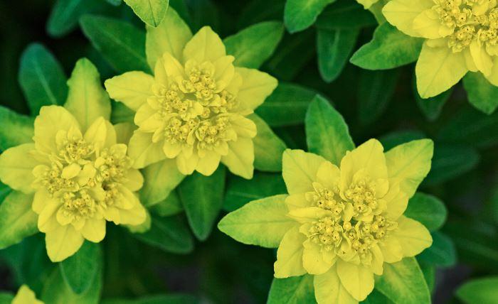 Gulltörel, Euphorbia polychroma
