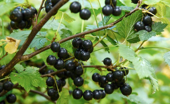 Svarta vinbär, Ribes nigrum