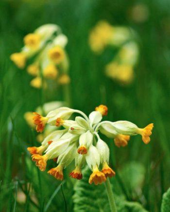 Gullviva, Primula veris