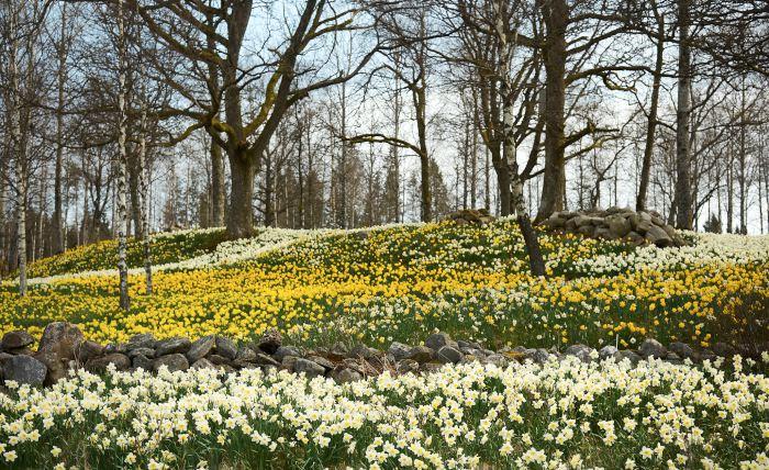 En miljon påskliljor och narcisser finns hos Arne och Birgit Andersson i småländska Fagerås.