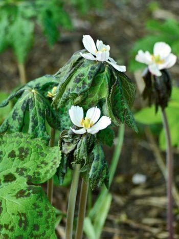 Indiskt fotblad, Podophyllum hexandrum 'Majus'