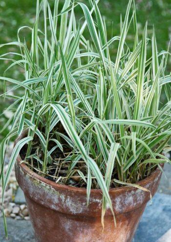 Randgräs, Phalaris arundinacea 'Picta'