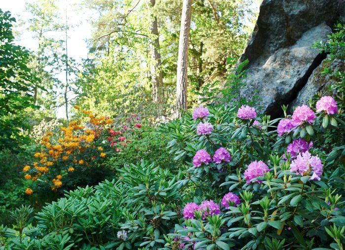 Rododendron och azaleor – Karin Wilhelmsson i Vidja