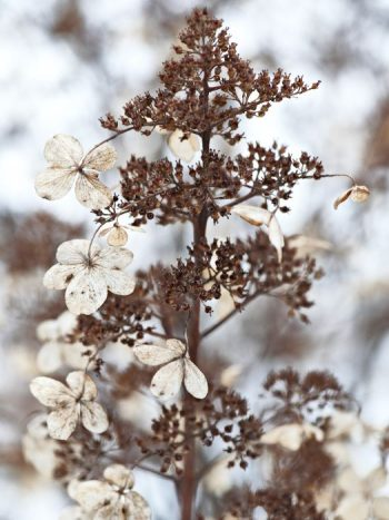 Vipphortensia, Hydrangea paniculata