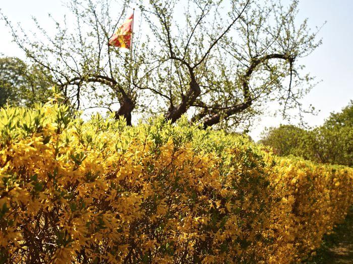Hybridforsythia, Forsythia × intermedia