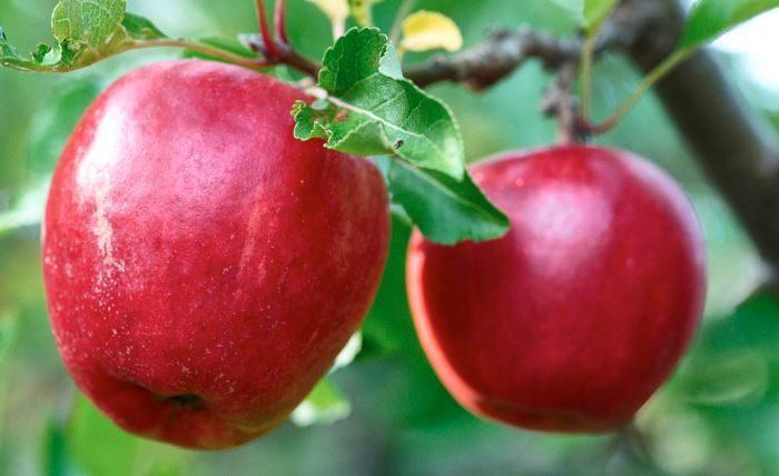 Äpplen, Malus domestica