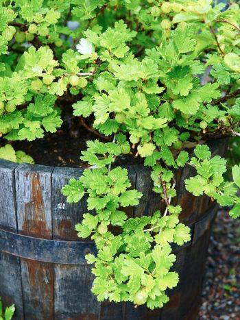 Krusbär, Ribes uva-crispa