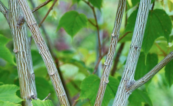 Amerikansk strimlönn, Acer pensylvanicum